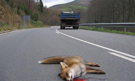 Zorro muerto en la calzada