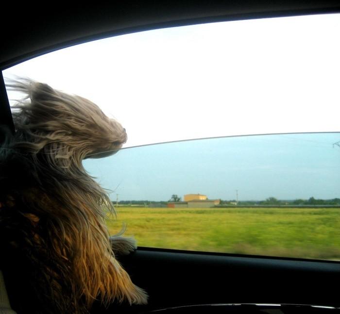 Las mascotas y la seguridad en el coche
