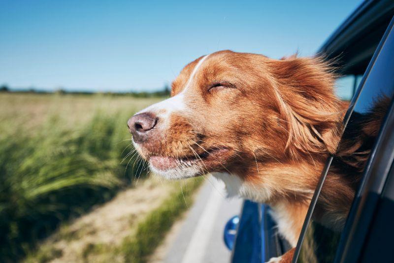perro coche