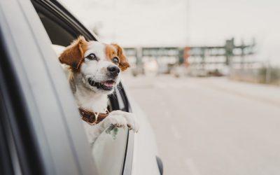 ¿Por qué la DGT no obliga a atar a tu perro en el coche?